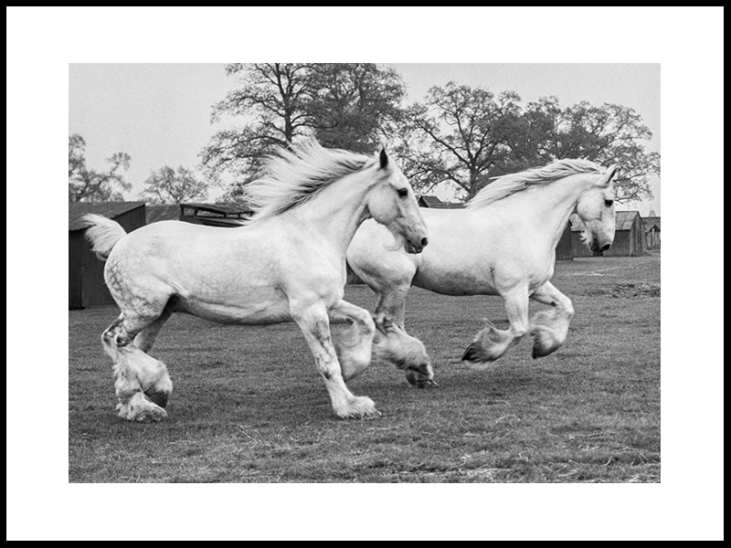Two Famous Dapple Grey Shires